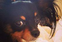 Rocky / Chihuahua