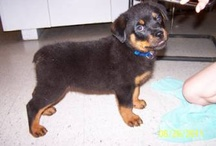 Rottweilers / by Francesca Collins