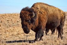 Wild Buffs / Buffalo photography and art.