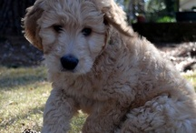 Nelson the Goldendoodle