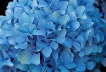 Hydrangea-flowering shrub / Old-fashioned charm with immense billowy blossoms  / by Jan Garris
