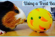 Train Your Guinea Pig