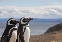 Magellanic (and other) penguins