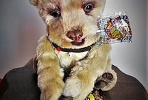 kermode / 34 cm open closed mouth  glass eyes  tissavel fur handsculpted eye lids claws nose and jaws fully pooseable