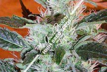Cannabis Seeds / This board contains some of the best seeds for growing marijuana.