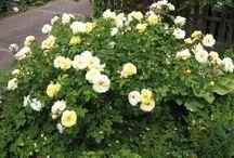 Interesting Roses