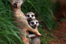 Surikater / Meerkats