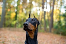 Maccabee | The Doberman Extraordinaire / My dog Maccabee.  I think he's cute :)