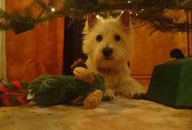 ♥ West Highland White Terrier ♥
