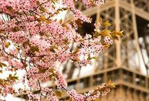 Paris cherrytree-桜