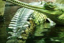 •Crocodile•