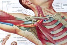 Muscles and Anatomy