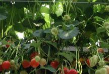 Aardbeien | Erdbeeren | Strawberries