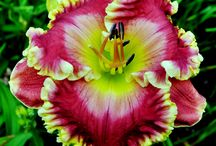 Plant It~Daylilies  / by Janet Betts