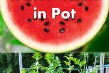 Waterlemoen in pot