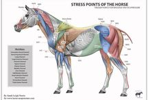 Equine sports massage therapist