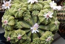 Aztekium, Ariocarpus