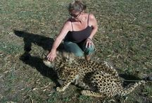 Cheetah's / Cheetah's that have been spotted.