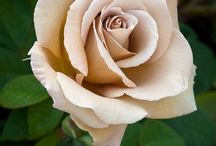 Beauful roses
