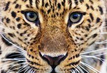 Felinos salvajes. / Este tablero se trata sobre los increïbles animales salvajes.