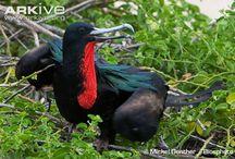 Wildlife Adventures: Magnificent Frigatebird