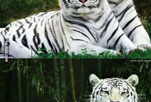 Lions, Tigers & Other Big Cats
