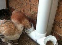 Backyard Chickens & Homesteading