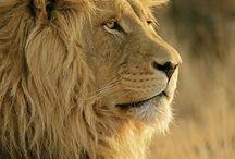 Big Cats in Africa