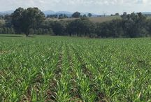 PG | Outback Forage Oats