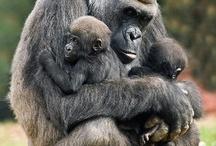 Apes, monkeys & co.