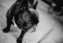 Edi the french bulldog