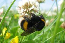 Bumblebeee