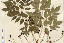 Herbier, feuilles et fleurs séchées