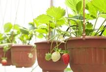 Cultures en pots, en bacs et en carrés potagers / Nul besoin d'un grand jardin en pleine terre pour goûter aux plaisirs d'un potager naturel.  Quelle que soit la place dont vous disposez, osez la culture de légumes et d'aromatiques en pots, en bacs ou en carrés potagers.