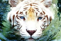 Big Cats / I have a huge love and fascination of these beautiful and amazing endangered animals.
