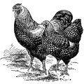 hens-