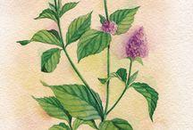 retro pictures herbs