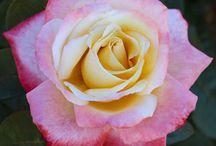 Rose Laetitia Casta ® Meilampario