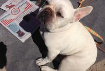 Benny the French Bulldog Fights Cancer