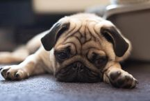 Pugs: Perfection / Pugs. It's the face, the tail, the head tilt, the eyes, the whole little package! / by Joy Houp
