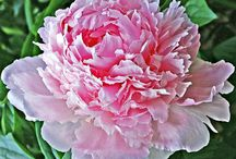 Alternatives to 'Bessie' peony / A couple of alternatives to the 'Bessie' peony