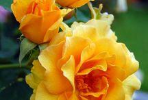 Rosas...e mais...rosas!!!!