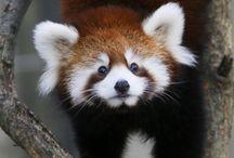 Red Panda Appreciation