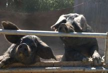 Large Black Hogs / Pasture raised and acorn finished Heritage breed, Large Black Hogs at Madrone Coast Farm.