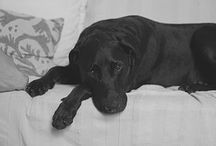 Love Labradors / Romeo the Lab is our ambassador at Locate Your Pet, he is our favourite Lab, but we love them all!