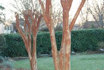 CRAPE MAIMING / Please join our campaign to STOP the horrifying disfigurement of Crape Myrtles!  Spread the word!