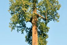 North America: Native trees & plants / Maple (Sugar, Red, Silver, Boxelder, Bigleaf)