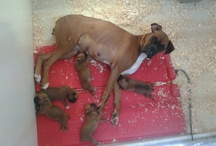 Boxer puppies / boxer puppies ready in april .. males and females . 2 litters . fawns, black-wh. or brindles.. AKC registered