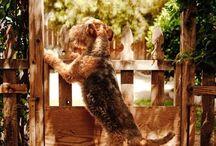 Airedale Terrier / Mi perro ideal!  Para mi Chloe !