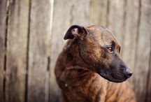 Shades of Brindle / Study of one of the most beautiful coat patterns present in the canine world.